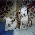 Pit puppies