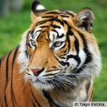 TigerPetition