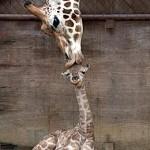 giraffe kisses giraffe