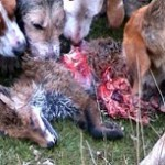 Fox That Was Caught