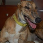 Greyhound Needing A Home